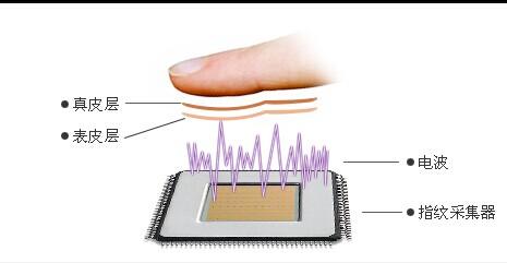 皮肤的微观结构-表皮与真皮