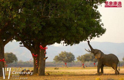 圣象v7乌金木地板红绳树:敬重生命